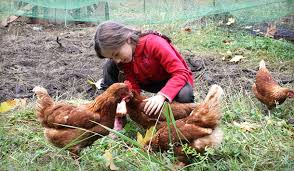 Backyard Poultry For Sale by Eartheasy Blograising Backyard Chickens My 8 Year Old Daughter U0027s