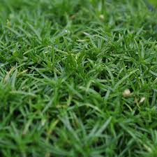 sagina subulata irish moss for miniature garden fairy garden