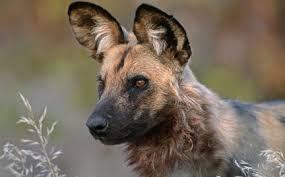 safari ltd african wild dog dog plush african wild dog symbolic adoption from wwf
