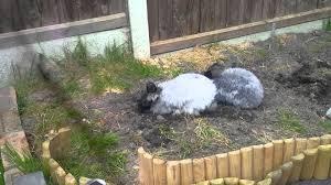 english angora rabbits digging a burrow youtube