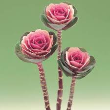 ornamental kale crane pink f1 harris seeds
