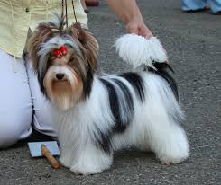 biewer yorkshire terrier a biewer yorkie pinterest yorkshire