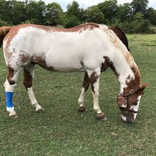 Howie At Home by Howie U0027s Fence Injury Horsedvm
