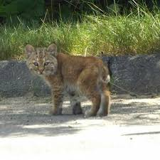 Connecticut wild animals images 50 best bobcats images baby bobcat baby animals jpg