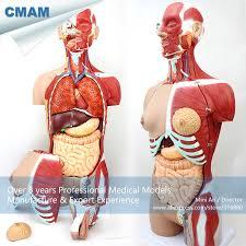 sexe au bureau 12016 cmam torso05 anatomie sexe torse modèle 29