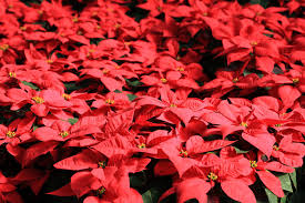 5 fun facts you may not know about poinsettias u2014 and a few myths