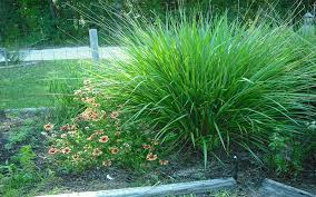 fakahatchee ornamental grass for sale naples