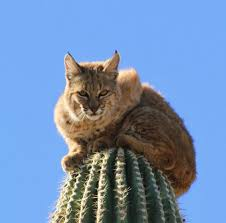 Arizona wildlife images Bobcat on pins and needles when pursued by cougar the spokesman bmp