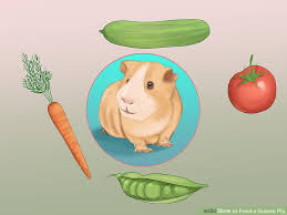 how to feed a guinea pig 13 steps with pictures wikihow