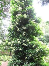 a large evergreen hydrangea seemanii growing up a tree at strybing