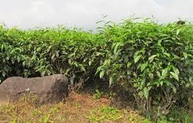 Teh Afrika pembekal borong teh dan pengeluar bridgat