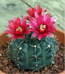 chin cactus gymnocalycium baldianum buy it now