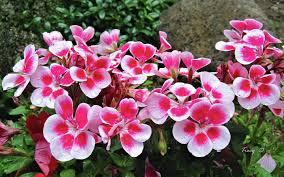 Flowers For Backyard by Pelargonium Geranium U2013 Easy Flower Project To Start A Spring
