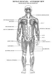 muscle anatomy coloring pages