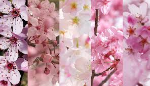 morning blossom wallpapers free cherry blossom wallpaper u2013 high quality high definition