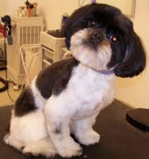 haircuts for shih tzus males mod dog boca grooming pictures
