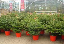 potted christmas tree real potted christmas trees learntoride co