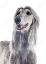 afghan hound of america afghan hound in front of white background stock photo picture and