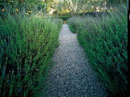 Most Fragrant Lavender Plant Delicious Lavender Sunset Magazine Sunset Magazine