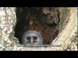 baby barred owl in oak tree