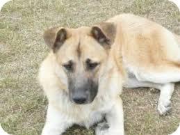 belgian malinois vermont elly adopted dog williston vt anatolian shepherd belgian