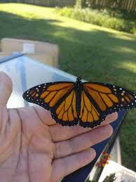monarch butterfly s broken wing fixed by the nicest the dodo