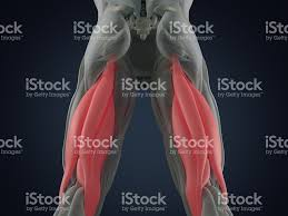 3d Human Anatomy Hamstring Muscle Group Human Anatomy Muscle System 3d Illustration