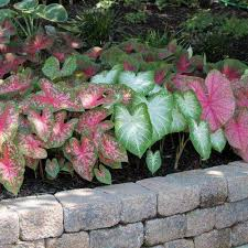 caladium flower bulbs garden plants u0026 flowers the home depot