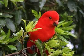 Parrot Decorations Home Australian King Parrot Species Pet Profile