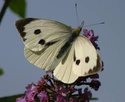 on line guide to the butterflies of britain and