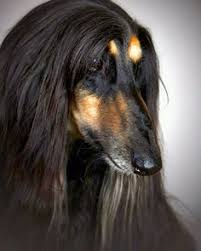 afghan hound hairstyles toves sammensurium afghan hounds pinterest more afghan hound