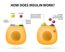 The Human Body Picture Insulin U0027s Role In The Human Body