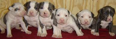 american pitbull terrier 10 months what to do if your pit bull is having puppies