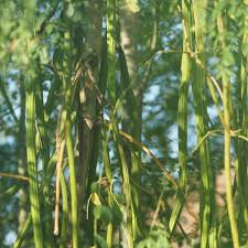 drumstick vegetable moringa pods picked fresh and shipped on