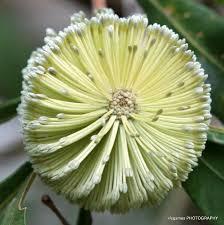 australian native plants white flowering australian native plants 4 u2013 lifegames photo gallery