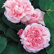 Meaning Of Pink Roses Flowers - say it with roses u2013 colours and their meaning erika price designs