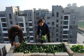 growing vegetables at balcony turned garden china org cn