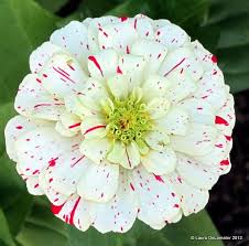 25 beautiful zinnia flower pictures ideas on pinterest dahlia