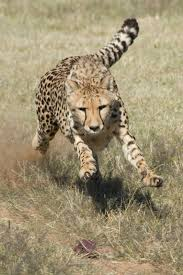why are predators important cheetah conservation fund cheetah