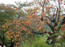 sweet lovely and ornamental persimmon tree