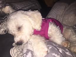 6 month old bichon frise for sale bichon frise dogs and puppies for sale in ilford greater