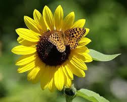 butterfly sunflower photograph by ben upham iii