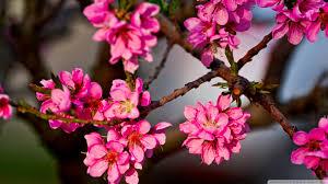 purple flowers on a tree 4k hd desktop wallpaper for 4k ultra