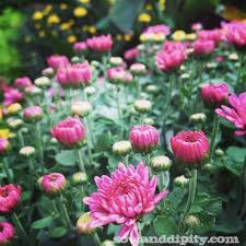 Picture Of Mums The Flowers - how to care for fall mums