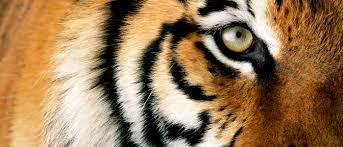 tiger wwf australia wwf australia