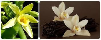 vanilla orchid vanilla planifolia vanilla orchid the colgate