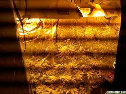 Hps Lights 3 Strains 3 Lights 1 Kg