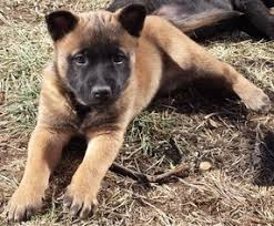 belgian malinois puppies for sale 2016 view ad belgian malinois puppy for sale missouri west plains usa