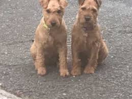 affenpinscher for sale canada lakeland terrier dogs and puppies for sale in the uk pets4homes