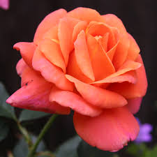 orange roses disneyland floribunda at jackson and perkins